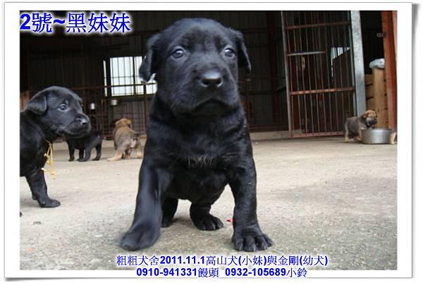 2011.11.1高山犬黑色種母(小妹)第一胎~173.jpg