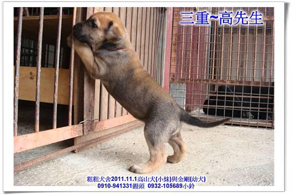 2011.11.1高山犬黑色種母(小妹)第一胎~175.jpg