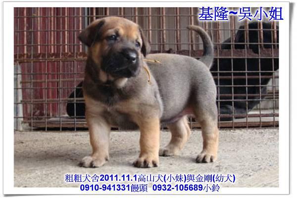 2011.11.1高山犬黑色種母(小妹)第一胎~176.jpg