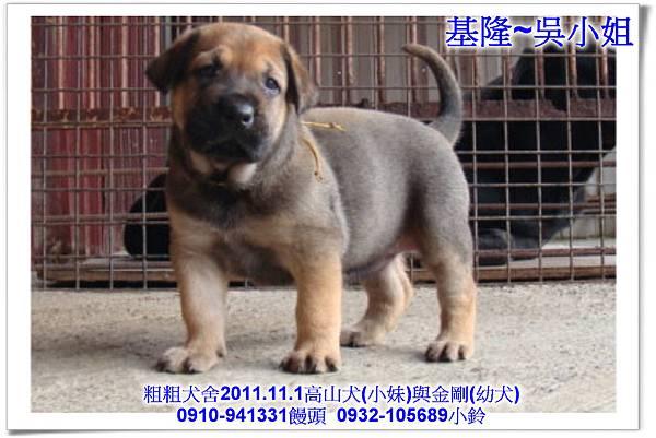 2011.11.1高山犬黑色種母(小妹)第一胎~177.jpg