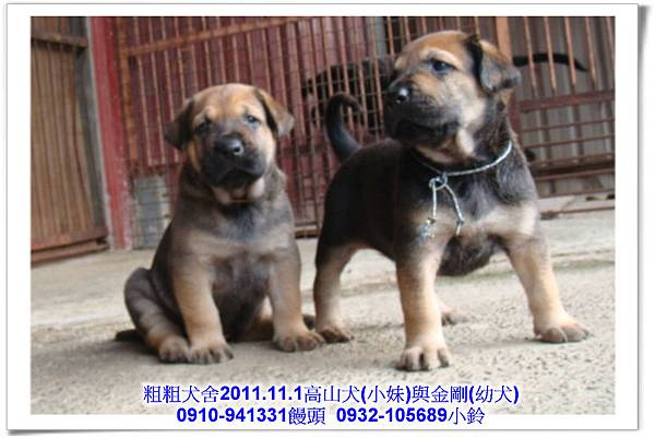 2011.11.1高山犬黑色種母(小妹)第一胎~178.jpg