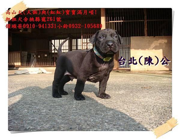 高山犬寶寶滿月喽!.JPG