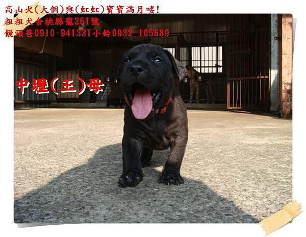 高山犬寶寶滿月喽! (2).JPG