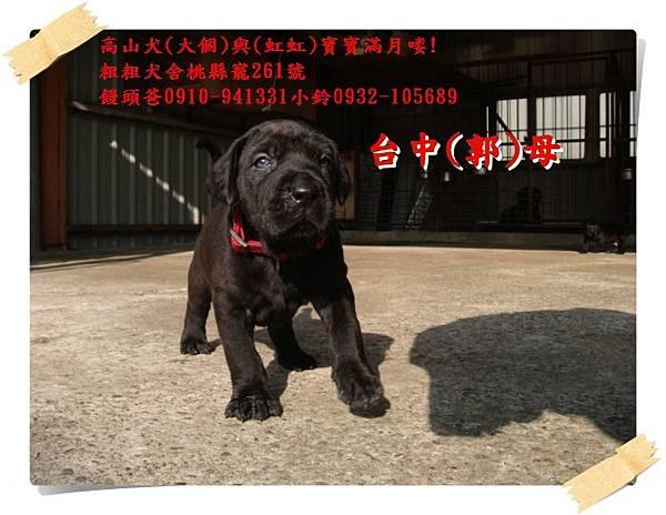 高山犬寶寶滿月喽! (3).JPG