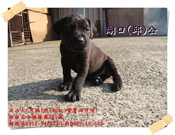 高山犬寶寶滿月喽! (5).JPG