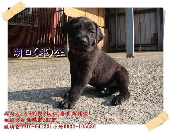 高山犬寶寶滿月喽! (6).JPG