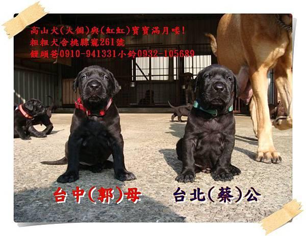 高山犬寶寶滿月喽! (7).JPG