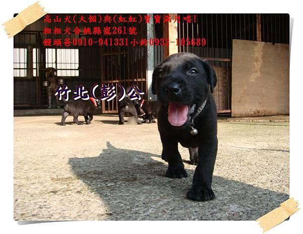 高山犬寶寶滿月喽! (9).JPG