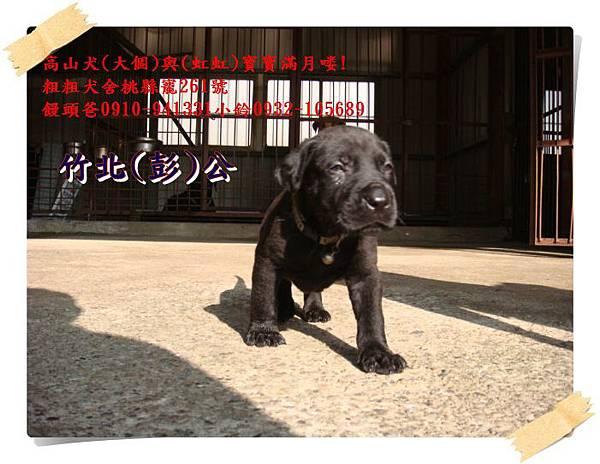高山犬寶寶滿月喽! (11).JPG