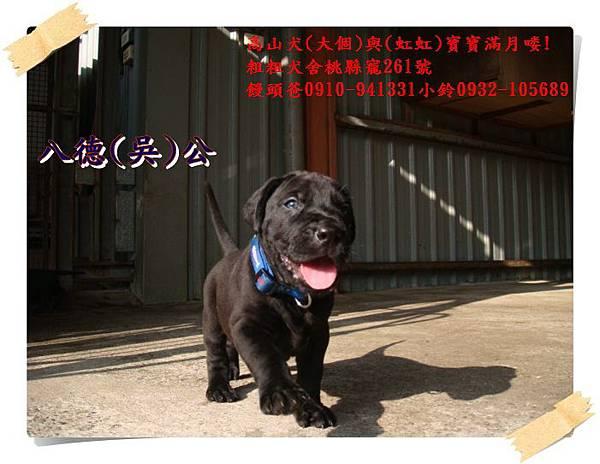 高山犬寶寶滿月喽! (12).JPG
