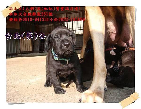 高山犬寶寶滿月喽! (16).JPG
