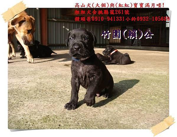 高山犬寶寶滿月喽! (18).JPG