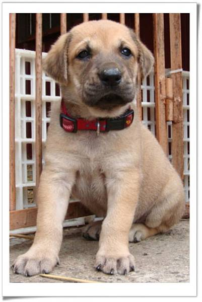 高山犬小麗(2011.04.12幼犬滿月)~57.jpg