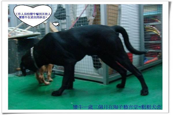 蠻牛一歲三個月在陶子藝言堂~粗粗犬舍~1.jpg