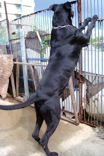 高山犬~黑色種公((噹噹))