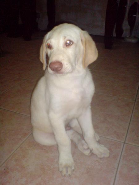 高山犬~白色種公(小白)小時候的照片