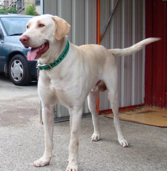 高山犬~白色種公(小白)