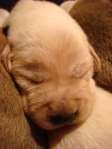 高山犬2009.12.07頭胎母犬誕生幼犬寶寶