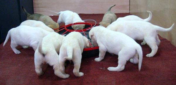 台灣大型土狗高山犬罕見白寶寶