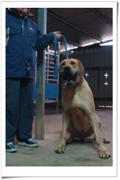 高山犬小麗種公(2011.04.12幼犬)~2.jpg
