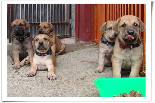 高山犬小麗(2011.04.12幼犬滿月)~47.jpg