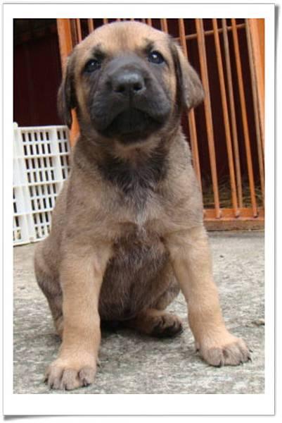 高山犬小麗(2011.04.12幼犬滿月)~40.jpg