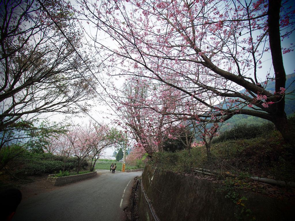 南投草坪頭櫻花季04.jpg