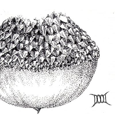 小西氏石櫟小2.jpg