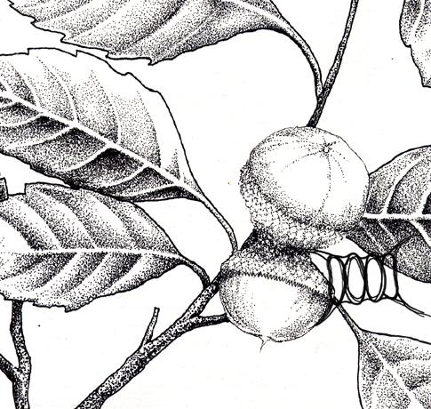 小西氏石櫟小3.jpg