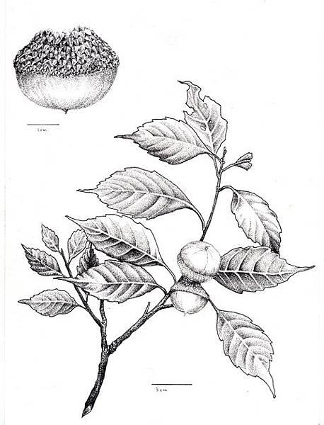 小西氏石櫟小1.jpg