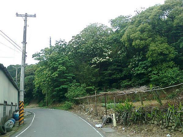 12.五月份的楓樹路旁有油桐花樹點綴.jpg