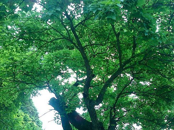 34.百年楓樹樹陰下.jpg