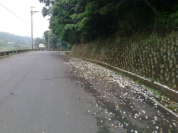 29.沿路飄落的油桐花.jpg
