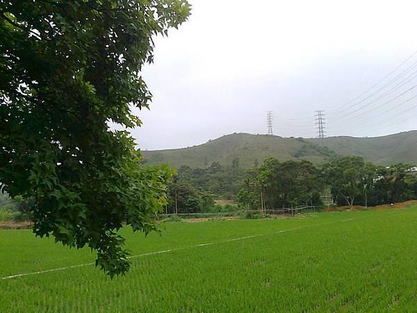 35.百年楓樹旁的稻田.jpg