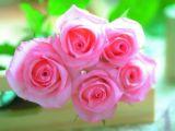 粉玫瑰.jpg