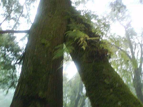 恩愛的樹木