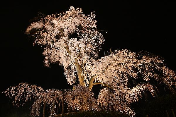 圓山公園枝垂櫻