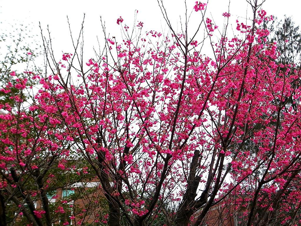 八里療養院-賞櫻