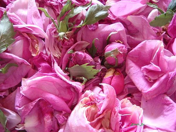大馬士格玫瑰.jpg