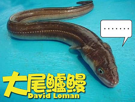 大尾鱸鰻10