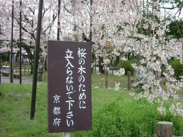 嵐山公園.百年櫻花樹