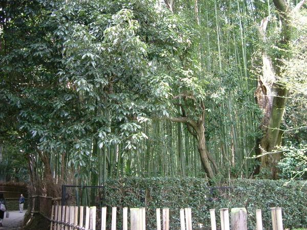 嵯峨野.野宮神社附近的竹林小徑