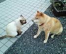 柴犬與貓的邂逅.jpg