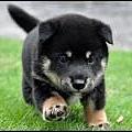 小小黑柴犬.jpg