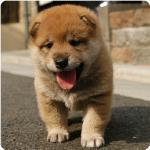 肥柴犬.jpg