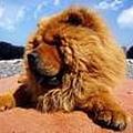 鬆獅犬.jpg