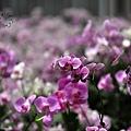 金車蘭花園