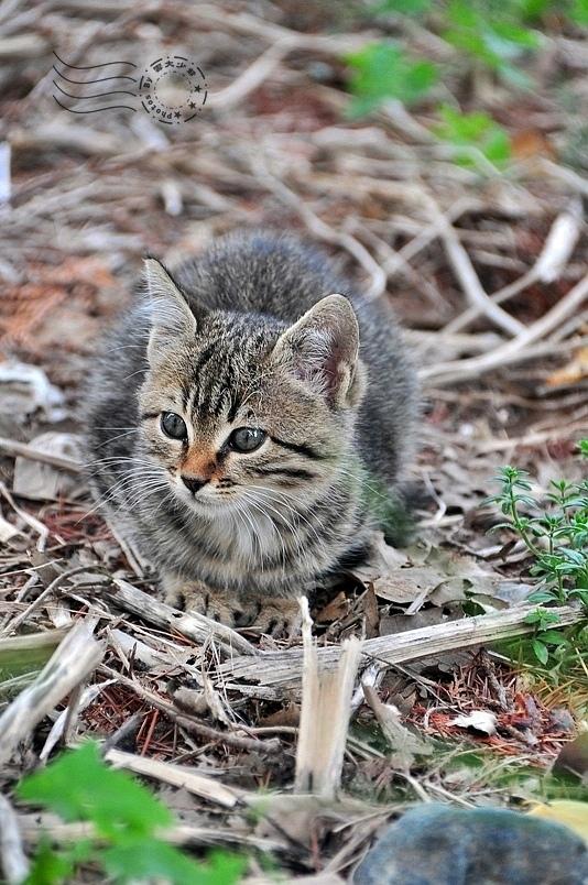 特洛伊遺跡幼貓