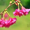 公館自來水園區山櫻花
