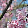 自來水園區山櫻花